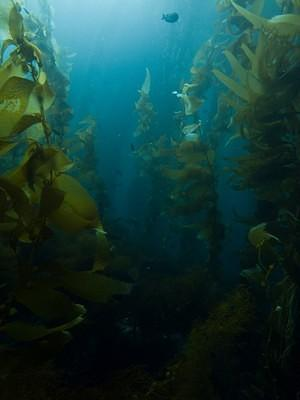 Kelp forest off the coast of Catalina