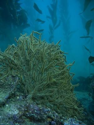 California Golden Gorgonian in the kelp forest