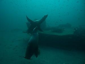 Two sea lions join us at the Sal Si Puedes wreck